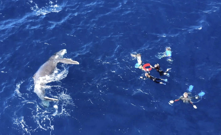 Drone footage shows how friendly the whales off the coast of Tonga really are. (Photo: Grant Thomas/Caters News)