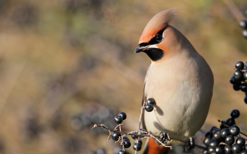 A waxwing feeding on berries in Bedfordshire in January - Credit: Andy Hay RSPB
