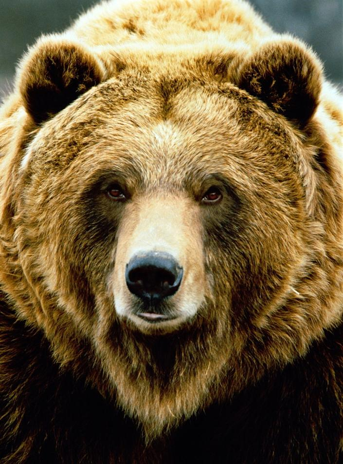 Other common name: Grizzly bear. Sometimes classified as sub-species Ursus arctos horribilis. Katmai National Park, Alaska, USA. Native: Northwest America, Alaska, Canada and Russia, isolated populations in Europe. Habitat: mixed woodland and open areas.