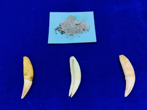 Visual of canine teeth and ash-powder recovered by the Chennai Customs. [Photo/ANI]