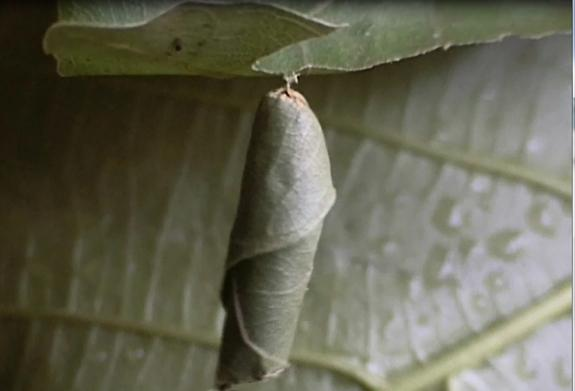 <em> Calindoea trifascialis </em> wraps itself in a leaf before jumping to the ground and hopping to a safe spot away from the sun.