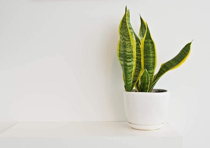 <p>Brighten up your environment with this <span>Live Snake Plant, Sansevieria trifasciata Superba</span> ($12, originally $14), which grows quickly, requires little maintenance, and has air-purifying qualities.</p>