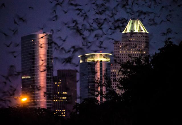 A colony of Mexican free-tailed bats emerges at dusk from under the Waugh Bridge in downtown Houstonin 2013. (Photo: Norm Lanier via Flickr)