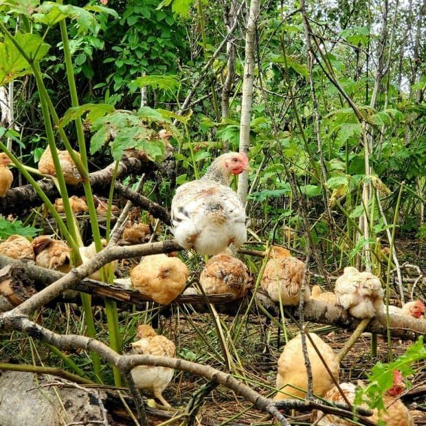 Proponents of the 'tree-range' technique of raising chickens say the birds feel more comfortable when they can roost and forage among trees.