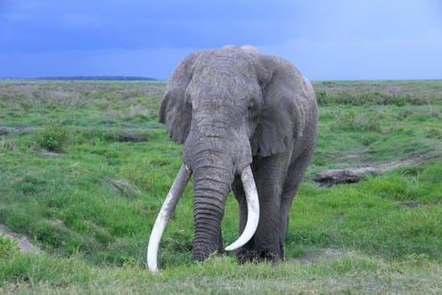 """<span class=""""caption"""">Tim – one of the last big tusker elephants – died last year at the age of 50, in Amboseli National Park, Kenya. </span> <span class=""""attribution""""><span class=""""source"""">From the author</span>, <span class=""""license"""">Author provided</span></span>"""