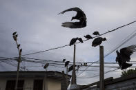 Vultures gather above a street market in Iquitos, Peru, Wednesday, March 24, 2021. In Peru, and in Latin America, the first known case of authorities concealing the fate of dozens of COVID-19 victims is coming to light, and nobody is able to explain why the victims were buried in a nearby field and not the local cemetery. (AP Photo/Rodrigo Abd)