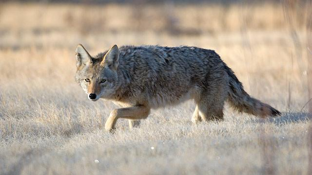 Coyote Killing Contest Sparks Outrage