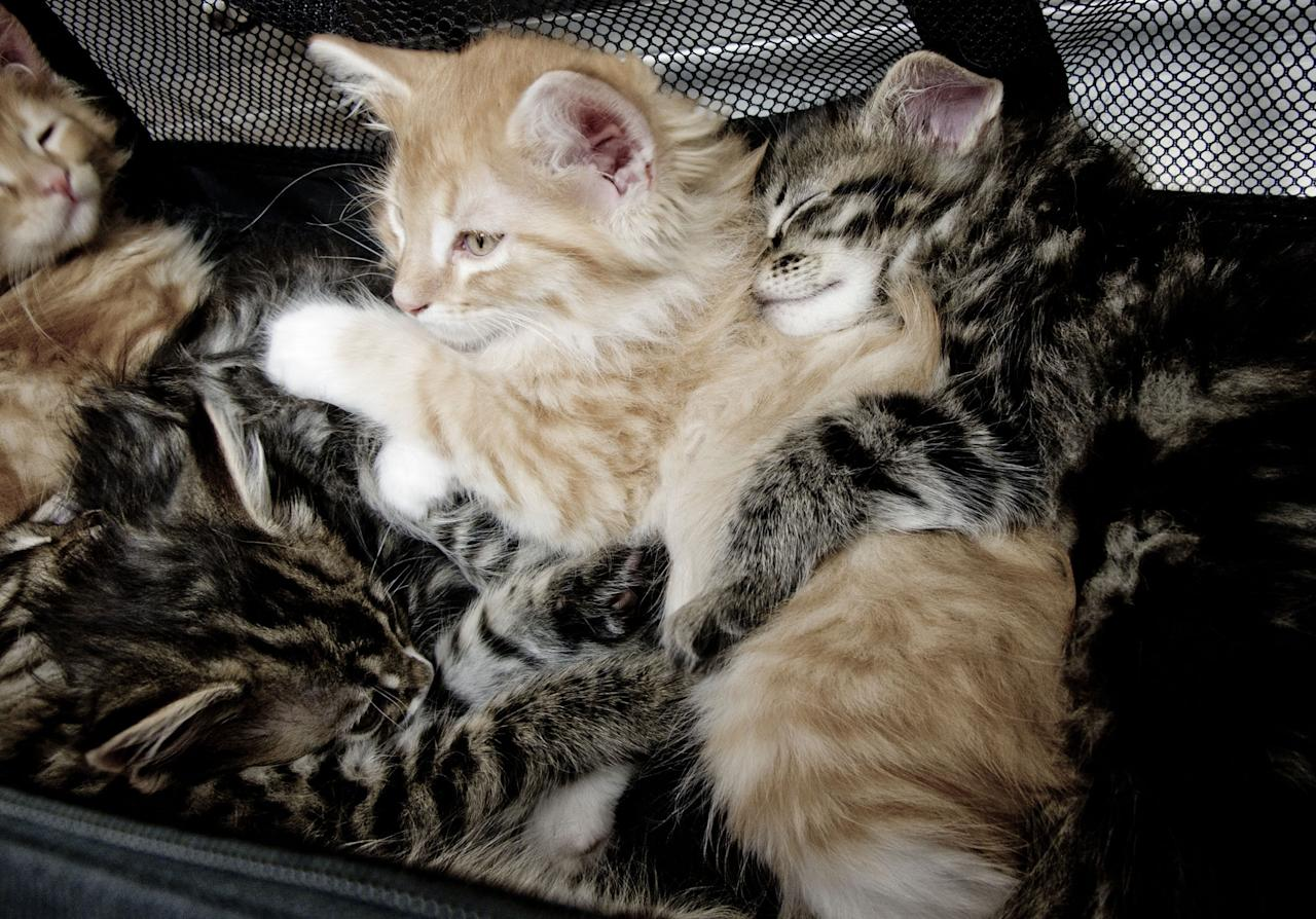 "Maine Coon kittens featured on Animal Planet's ""Too Cute! Kittens."""