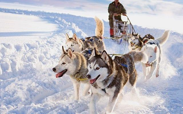 sled dogs - Getty