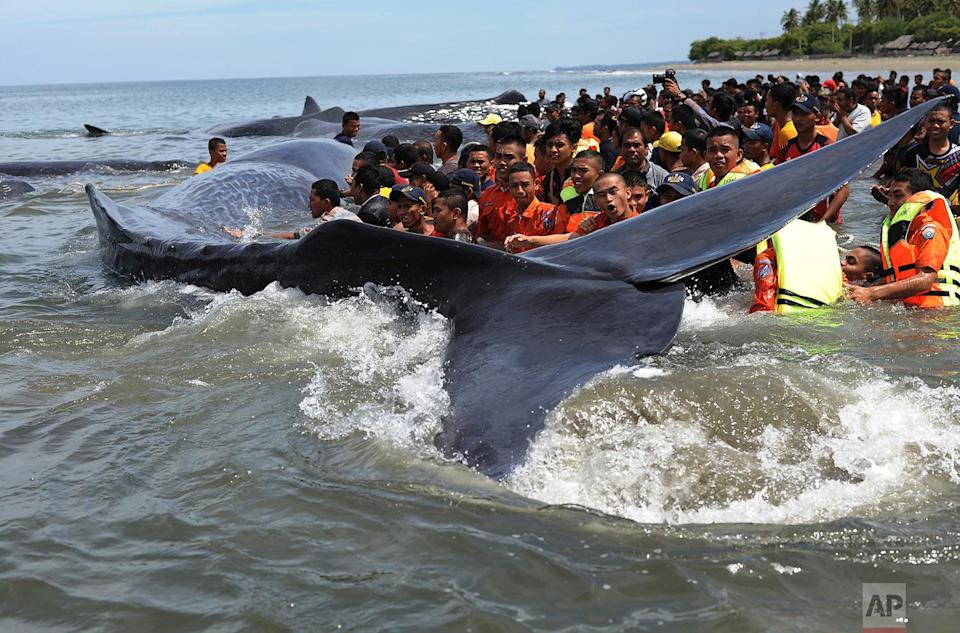 <p>Rescuers attempt attempt to push stranded whales back into the ocean at Ujong Kareng beach in Aceh province, Indonesia. An official said 10 whales were stranded at the beach and attracted hundreds of onlookers who posed for pictures with them. (AP Photo/Syahrol Rizal) </p>