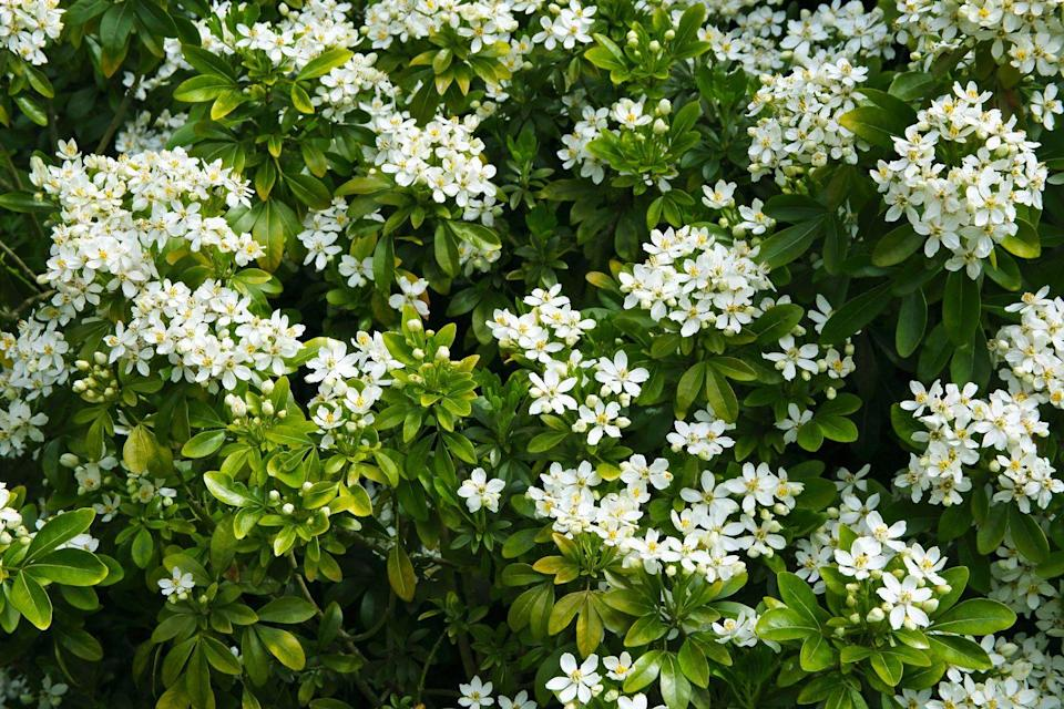"""<p>These beautiful white star-shaped flowers are the ideal hedge plant for anyone looking for an evergreen shrub. Certain to boost your mood, they will attract a whole host of buzzing <a href=""""https://www.housebeautiful.com/uk/garden/plants/g36486302/flowers-for-bees/"""" rel=""""nofollow noopener"""" target=""""_blank"""" data-ylk=""""slk:bees"""" class=""""link rapid-noclick-resp"""">bees</a>. </p><p><a class=""""link rapid-noclick-resp"""" href=""""https://www.waitrosegarden.com/plants/_/choisya-ternata/classid.825/"""" rel=""""nofollow noopener"""" target=""""_blank"""" data-ylk=""""slk:BUY NOW VIA WAITROSE GARDEN"""">BUY NOW VIA WAITROSE GARDEN</a></p>"""