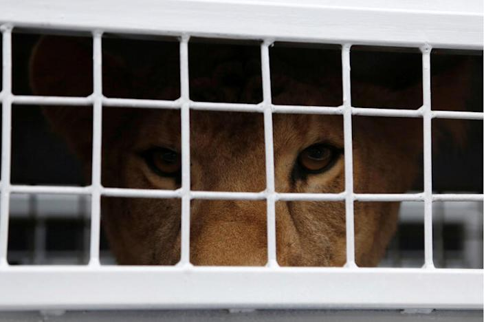 <p>A former circus lion looks out from its cage in Callao, Peru, as it is prepared for transportation to a wildlife sanctuary in South Africa, April 29, 2016. <i>(Janine Costa/REUTERS)</i></p>