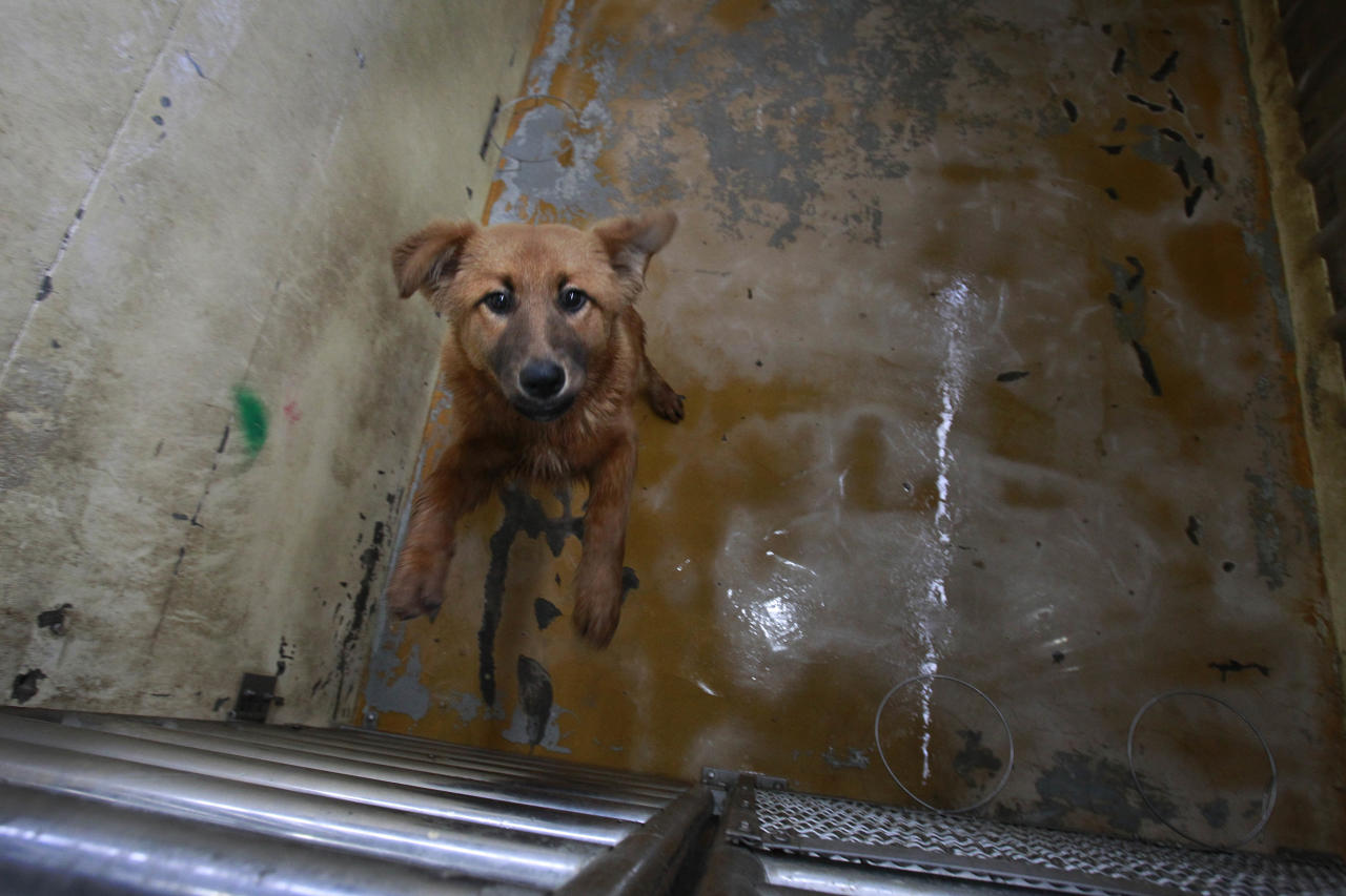 In this photo taken on Monday, April 9, 2012, a dog begs for attention at a government-run shelter in Taoyuan, northern Taiwan. In an ongoing project, Taiwanese photographer Tou Chih-kang makes portraits of shelter dogs in the final moments of their lives before being put down by lethal injection. Tou has been visiting dog shelters for two years now, making human-like portraits that give a sense of dignity and esteem to some 400 canines, in hopes of educating the public on the proper care of pets. This year Taiwanese authorities will kill an estimated 80,000 stray dogs at 38 pounds scattered throughout the island. (AP Photo/Wally Santana)