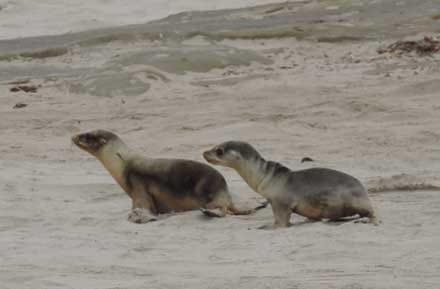 Recent studies show a warm patch of water off the West Coast may be affecting marine life off California. Here, two California sea lion pups, one fairly healthy and one emaciated.