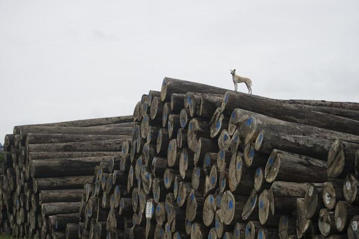 Chinese traders purchase timber from Gambians who source the wood from Senegal, often with the connivance of impoverished local populations in Casamance (AFP Photo/Ye Aung Thu)