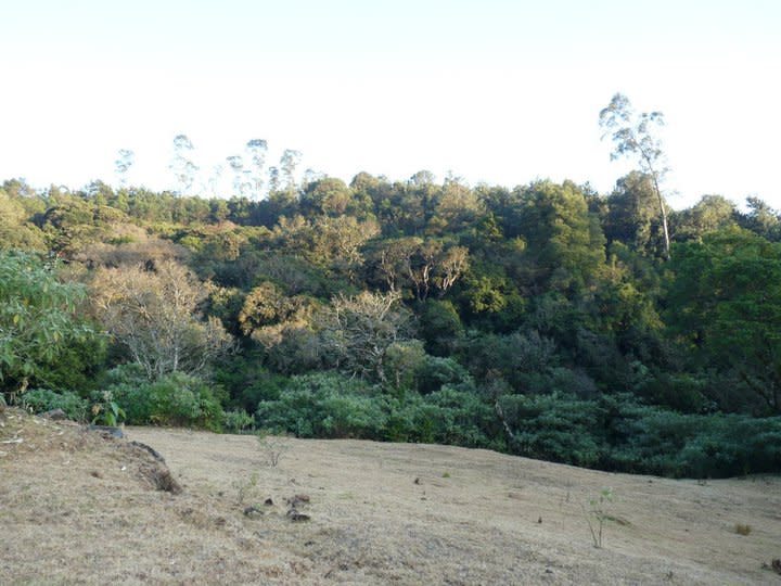 The shola ecosystem comprises dense clusters of evergreen forest interspersed with grassy meadows. In the Nilgiris, the sholas are increasingly fragmented by monocultures of introduced exotic trees such as Eucalyptus, Black Wattle and Pine. The tall trees in the background are eucalyptus, while further behind are dense groves of wattle. They have choked much of the natural forest in the Nilgiris.