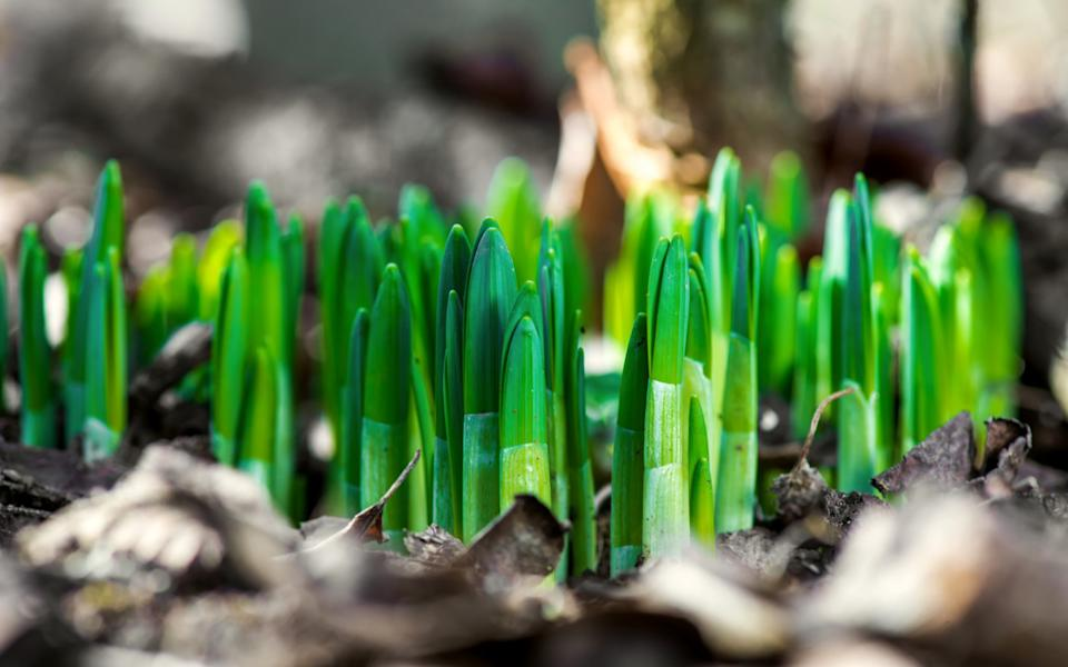 Sprouted daffodils can still be moved - Diyana Dimitrova / Getty