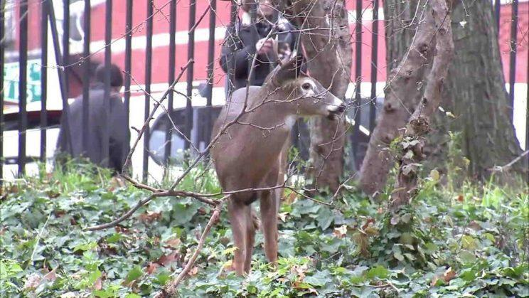 "Officials had said euthanizing the deer, which was being held at an East Harlem animal shelter, was ""the only humane and safe recourse."" (WABC)"