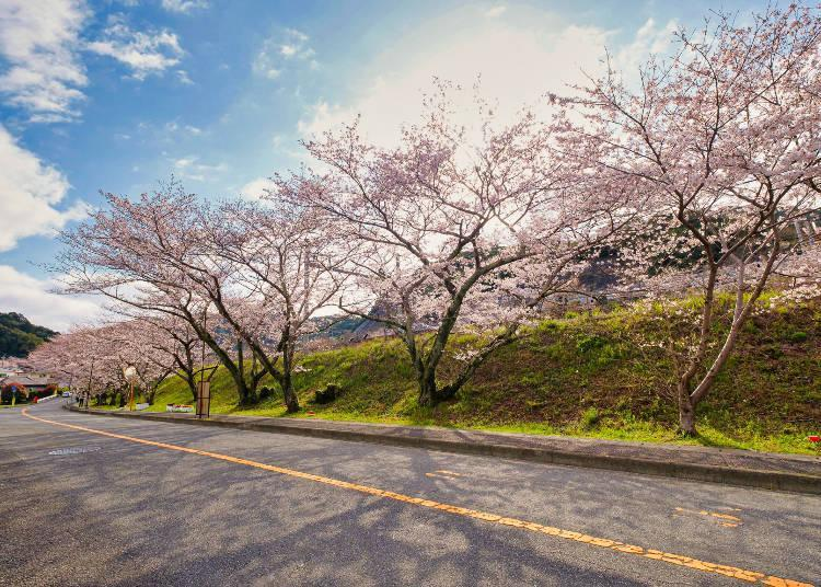 A row of cherry trees that stretches for about 1 kilometer