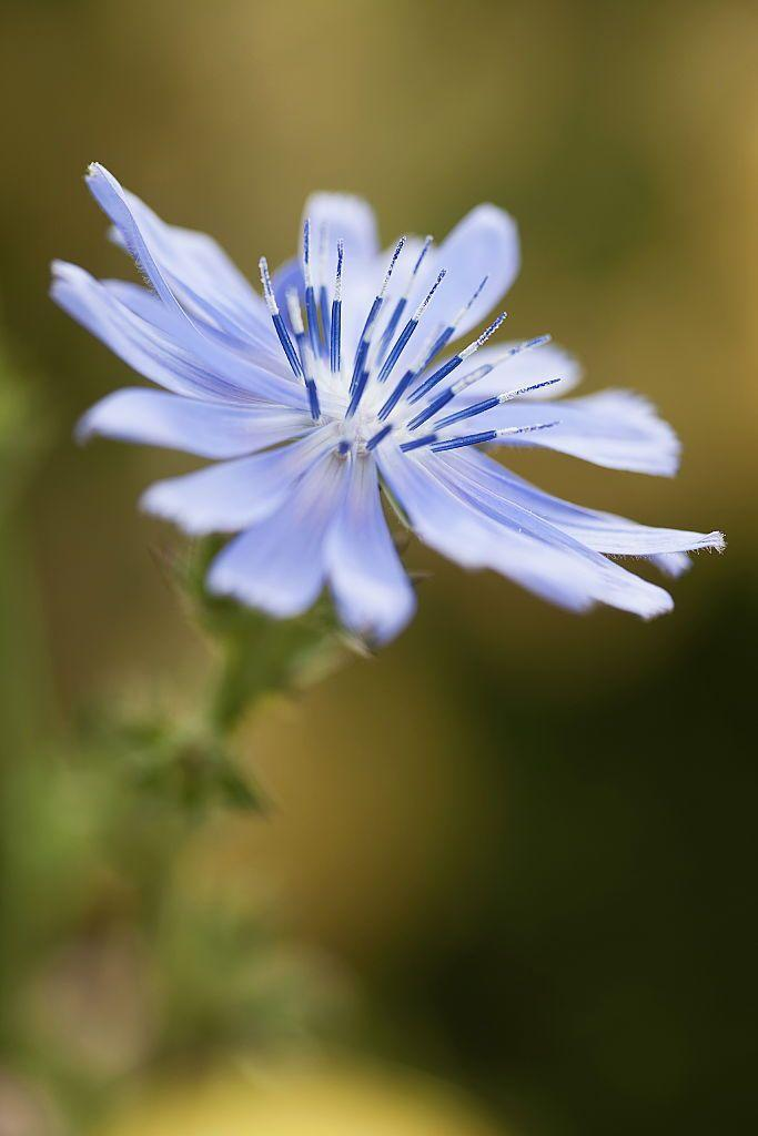 """<p>Part of the dandelion family, chicory is proven to have many <a href=""""https://www.organicfacts.net/health-benefits/herbs-and-spices/health-benefits-of-chicory.html"""" rel=""""nofollow noopener"""" target=""""_blank"""" data-ylk=""""slk:health benefits"""" class=""""link rapid-noclick-resp"""">health benefits</a> for digestion, pains, and bacterial infections. It also promotes weight-loss and is often ground into powder as a substitute for coffee. </p><p><strong>Bloom seasons</strong>: Spring and summer</p><p><a class=""""link rapid-noclick-resp"""" href=""""https://www.amazon.com/Scuddles-Garden-Tools-Set-Gardening/dp/B07621FLPW/ref=sr_1_3_sspa?keywords=gardening+kit&qid=1584129763&sr=8-3-spons&psc=1&spLa=ZW5jcnlwdGVkUXVhbGlmaWVyPUEzRzFTWUVQSTFQTDFRJmVuY3J5cHRlZElkPUEwMDMzOTg2MkVDV0dSUUVSWVlOVyZlbmNyeXB0ZWRBZElkPUEwMTYyMTE3VVZYMUc5OVhJTDY1JndpZGdldE5hbWU9c3BfYXRmJmFjdGlvbj1jbGlja1JlZGlyZWN0JmRvTm90TG9nQ2xpY2s9dHJ1ZQ%3D%3D&tag=syn-yahoo-20&ascsubtag=%5Bartid%7C10050.g.36596951%5Bsrc%7Cyahoo-us"""" rel=""""nofollow noopener"""" target=""""_blank"""" data-ylk=""""slk:SHOP GARDENING KIT"""">SHOP GARDENING KIT</a></p>"""