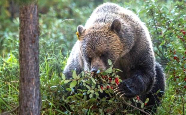 A grizzly bear eats buffaloberries in this handout photo from Parks Canada.  (Alex Taylor/Parks Canada - image credit)