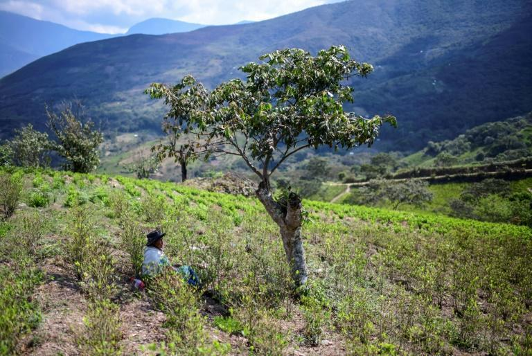 Natividad Quispe, 84, takes a break from her work in a coca leaf plantation in Trinidad Pampa, Bolivia