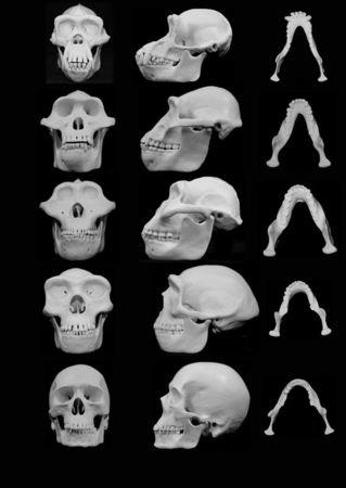 University of Utah handout image shows frontal and lateral views of skull reconstructions comparing chimpanzees with four hominins