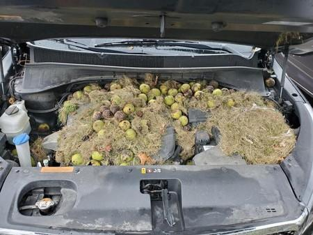 Walnuts and grass hidden by squirrels are seen under the hood of a car, in Allegheny County, Pennsylvania, U.S. in this October 7, 2019 image obtained via social media