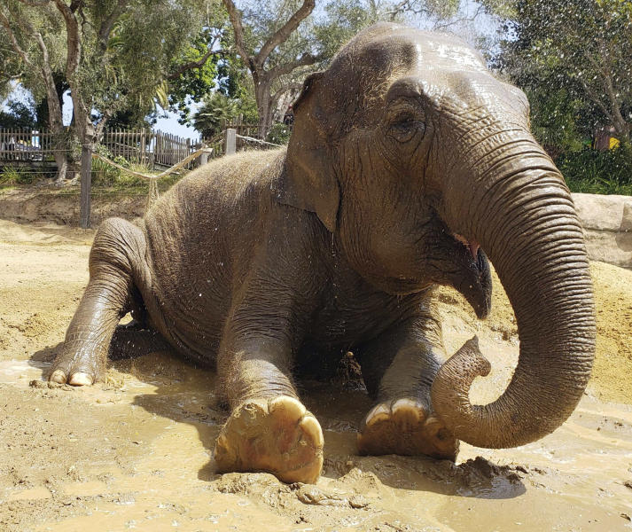 FILE - This undated file photo provided by the Santa Barbara, Calif., Zoo shows Little Mac, its 48-year-old Asian elephant. Little Mac has been euthanized after a sharp decline in her health The zoo says Little Mac was euthanized Wednesday night, Sept. 25, 2019 in her exhibit yard, surrounded by keepers and staff. She came to the zoo from India in 1972 with another female Asian elephant, Sujatha, who was euthanized last year. The zoo says her decline began in June with the onset of new medical issues in addition to other problems common in geriatric elephants. (Santa Barbara Zoo via AP, File)