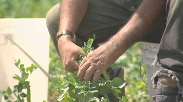 The P.E.I. Federation of Agriculture said a system is now in place to safely have workers here in the province and that P.E.I. will 'be back to a more normal year in terms of numbers,' of temporary foreign workers. (CBC News - image credit)