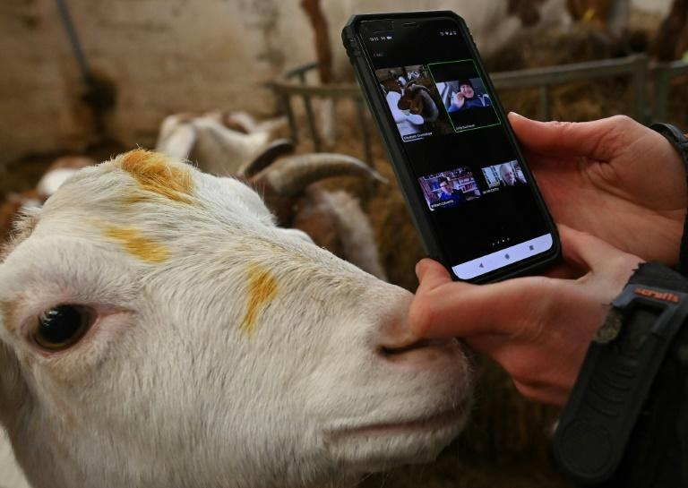 Farmer Dot McCarthy films one of her goats for a Zoom call at Cronkshaw Fold Farm