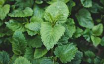 """<p>Lemon balm, from the mint family, is often used for adding a citrusy edge to dishes, but this low-maintenance houseplant also repels spiders and fruit flies. Spiders hate anything that smells of citrus; although it's pleasant to humans, the smell is overpowering and acts as a natural repellent.</p><p>Take a cutting of lemon balm, add it to water, and spray the solution in dark areas of your home where spiders love to hide.</p><p><a class=""""link rapid-noclick-resp"""" href=""""https://www.primrose.co.uk/lemon-balm-plants-plants-plant-theory-p-136462.html"""" rel=""""nofollow noopener"""" target=""""_blank"""" data-ylk=""""slk:BUY NOW"""">BUY NOW</a></p>"""