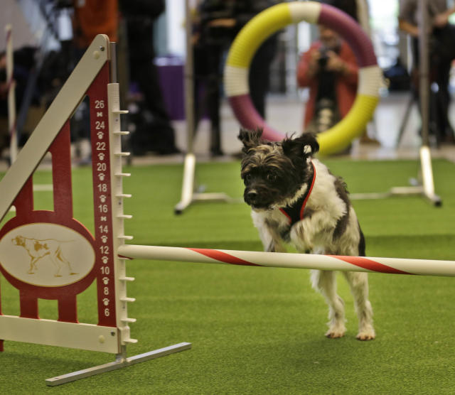 Alfie, a mixed breed, demonstrates his mastery of an agility test during a news conference in New York, Wednesday, Jan. 15, 2014. For the first time ever, the Westminster Dog Show will include an agility competition, open to mixed breeds as well as purebred dogs. (AP Photo/Seth Wenig)