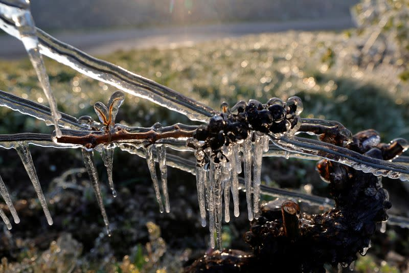 Water is sprayed in the morning to protect vineyards from frost damage outside Chablis