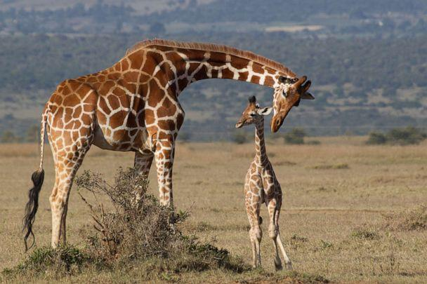 PHOTO: Reticulated Giraffes are shown on the plains of Laikipia in Kenya. (Robert Muckley/Getty Images, FILE)