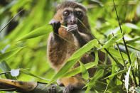 """This 2019 photo provided by Noel Rowe and Centre ValBio shows a golden bamboo lemur in Madagascar. Conservation isn't work that can simply be dropped for a while, then picked up again, """"because it depends so much on relationships with people and local communities,"""" said Patricia Wright, a biologist at Stony Brook University who has spent three decades building a program to protect Madagascar's lemurs, big-eyed primates that live only on the island. (Noel Rowe/Centre ValBio via AP)"""