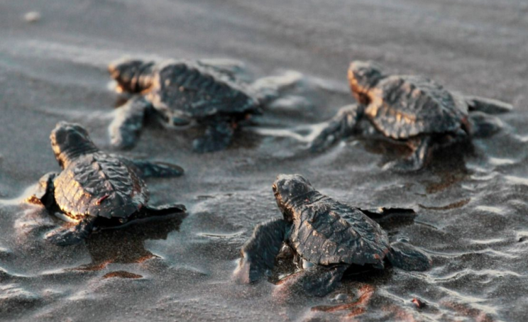 The Barbados Sea Turtle Project work to save newly-hatched hawksbill turtles