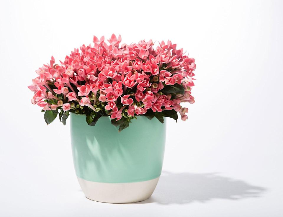 Pink Potted Begonia in a Pot