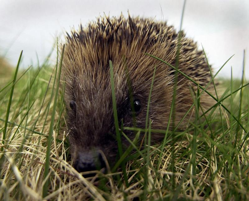 File photo dated 07/03/03 of a hedgehog. A quarter of Britain's native mammal species, including red squirrels, wildcats and beavers, are at risk of extinction, a new assessment warns.