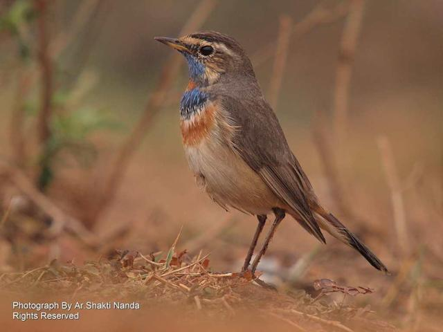 When viewed from the back, the <strong>Bluethroat</strong> (<em>Luscinia svecica</em>) looks drab and brown. When it turns to face you, it flashes its stunning bib of blue and orange. It breeds in northern Asia, Europe and Alaska and winters in the Indian subcontinent.