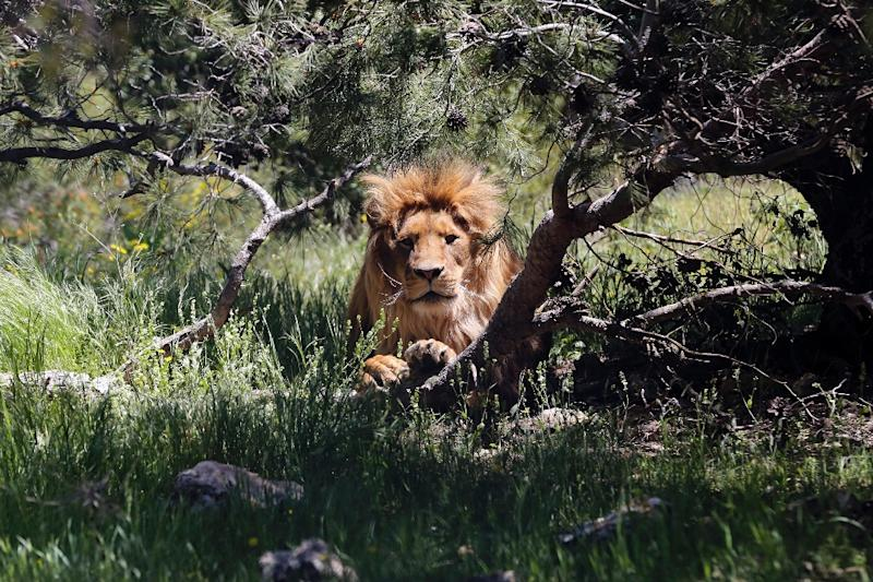 Most of the animals at the Jordanian wildlife reserve were rescued from Syria (AFP Photo/Khalil MAZRAAWI)