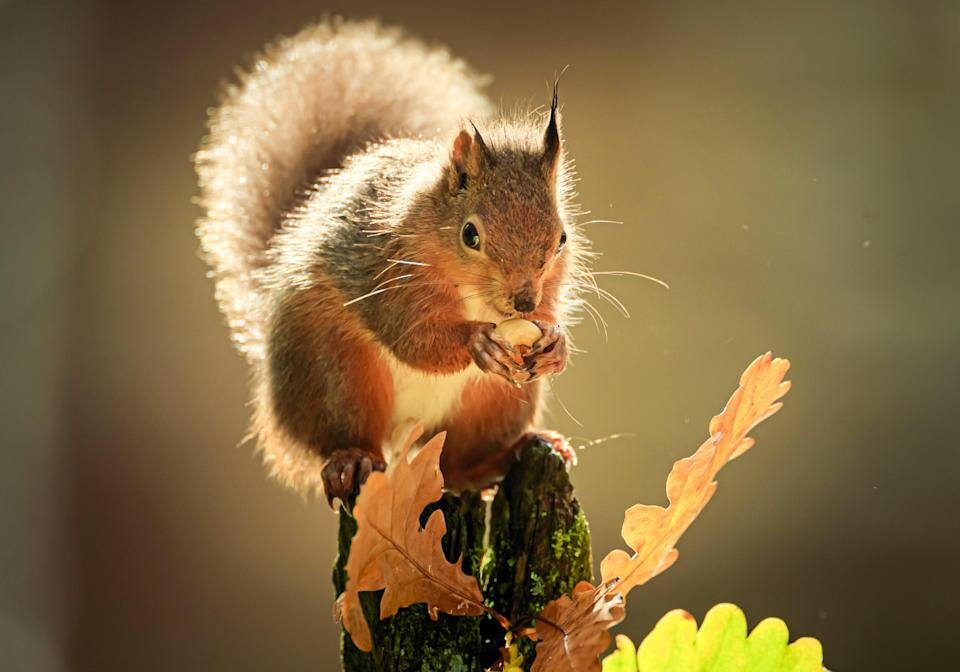 A red squirrel forages for food among autumn leaves in the Widdale Red Squirrel Reserve in North Yorkshire (Danny Lawson/PA) (PA Archive)