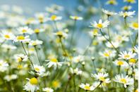 """<p>Roman chamomile is a low-growing perennial, while German chamomile is an annual that can become two feet tall. Chamomile likes full sun to part shade and needs well-drained soils. </p><p><strong>How to use:</strong> Both types are used interchangeably. When the flowers begin to open, harvest them and spread out to dry. Chop the dried flowers, add about one tablespoon per cup of hot water, and steep five minutes to make a tea to aid sleep or digestion. Or place the chopped flowers in a small muslin bag with a drawstring to make a tea bag. Bonus: Use this after it cools to soothe red, puffy eyes!</p><p><a class=""""link rapid-noclick-resp"""" href=""""https://www.amazon.com/Seed-Needs-Chamomile-German-Non-GMO/dp/B01MTR4XBU/ref=sr_1_4?tag=syn-yahoo-20&ascsubtag=%5Bartid%7C10063.g.35264165%5Bsrc%7Cyahoo-us"""" rel=""""nofollow noopener"""" target=""""_blank"""" data-ylk=""""slk:SHOP CHAMOMILE"""">SHOP CHAMOMILE</a></p>"""