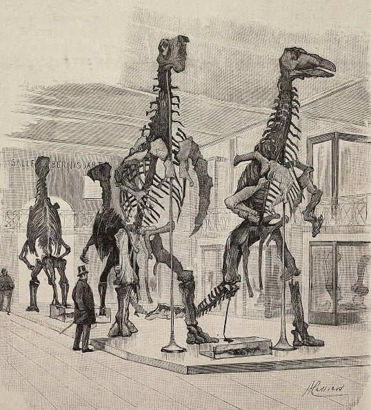 Skeletons of Iguanodon, dinosaurs of the late Cretaceous, reconstructed in a museum in Brussels, Belgium, engraving from a drawing by H Cassier, from L'Illustrazione Italiana, year 19, no 3, January 17, 1892. (Photo: DEA via De Agostini via Getty Images)
