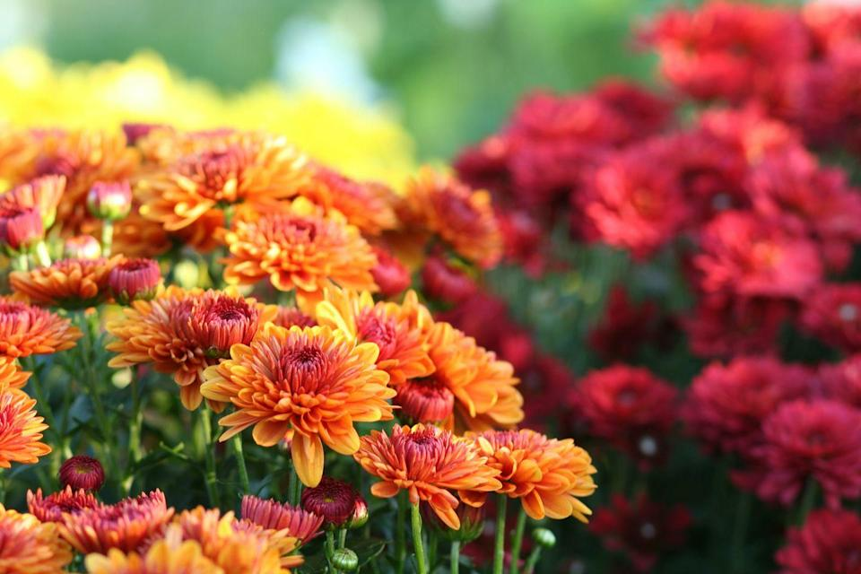 <p>These blooming lovely flowers not only brighten up our borders, but they are pros at keeping spiders out of sight. According to Primrose, chrysanthemums naturally contain pyrethrum — an ingredient frequently used in natural insect repellents.</p>