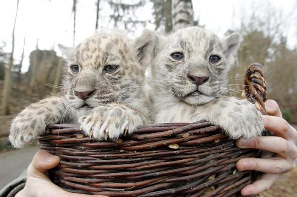 Rare white jaguar cubs born at zoo in Germany