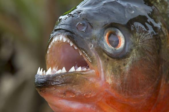 South America ,Brazil, Amazonas state, Manaus, Amazon river basin, along Rio Negro , Red-bellied piranha or red piranha (Pygocen