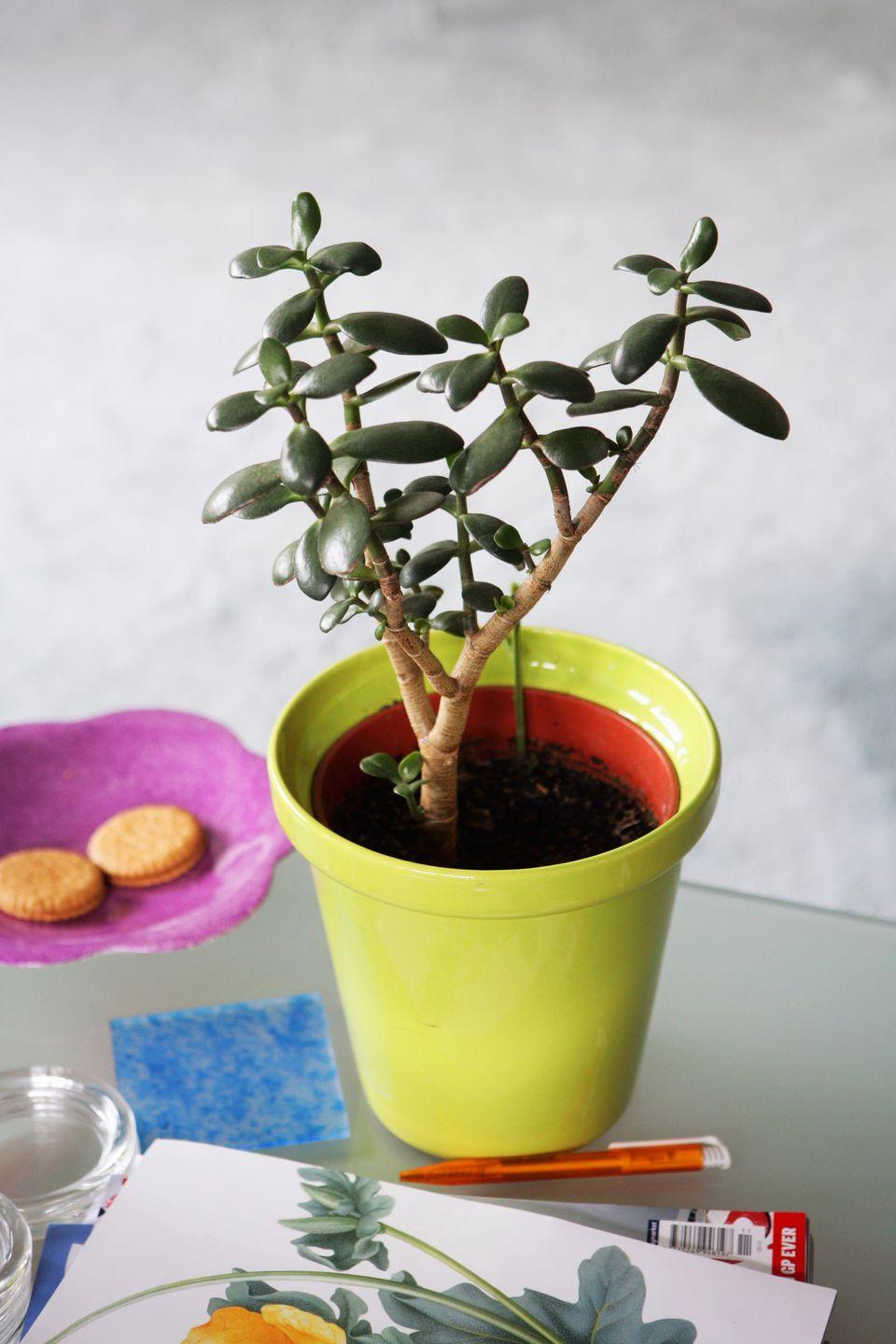 """<p><a class=""""link rapid-noclick-resp"""" href=""""https://www.amazon.com/Crassula-Succulent-Garden-Plant-Guide/dp/B07FN9P13V?tag=syn-yahoo-20&ascsubtag=%5Bartid%7C10057.g.3716%5Bsrc%7Cyahoo-us"""" rel=""""nofollow noopener"""" target=""""_blank"""" data-ylk=""""slk:BUY NOW"""">BUY NOW</a> <strong><em>$10, amazon.com</em></strong></p><p>These plants only require <a href=""""http://www.almanac.com/plant/jade"""" rel=""""nofollow noopener"""" target=""""_blank"""" data-ylk=""""slk:medium light"""" class=""""link rapid-noclick-resp"""">medium light</a> for a few hours every day, so they can sit just about anywhere in your office. Since the soil should dry out before you water them, we recommend taking a second to test the moisture when you walk in every morning.</p>"""