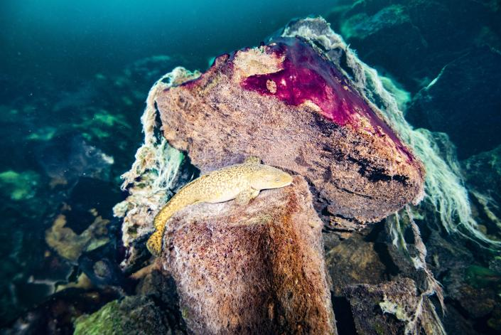 This photo provided by the NOAA Thunder Bay National Marine Sanctuary shows a burbot fish resting on rocks covered in purple and white microbial mats inside the Middle Island Sinkhole in Lake Huron, Mich. Feel like days are just getting longer? They are and it's a good thing because we wouldn't have much to breathe if they weren't, according to a new explanation for how Earth's oxygen rich atmosphere may have developed because of Earth's rotation slowing. Scientists provided evidence for this new hypothesis by lab testing gooey smelly purple bacteria from a deep sinkhole in Lake Huron. (Phil Hartmeyer/NOAA Thunder Bay National Marine Sanctuary via AP)