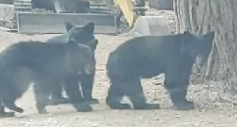 A pack of bears are pictured.